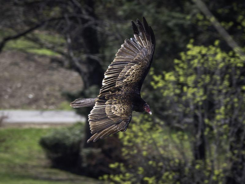 A soaring turkey vulture shows off its beautiful wingspan.