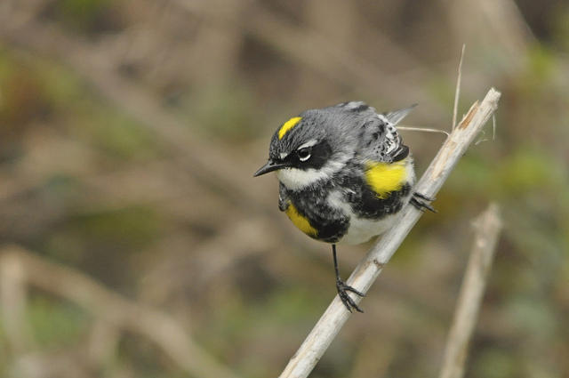 This yellow-rumped warbler wants to hear your birs sightings, stories and questions.