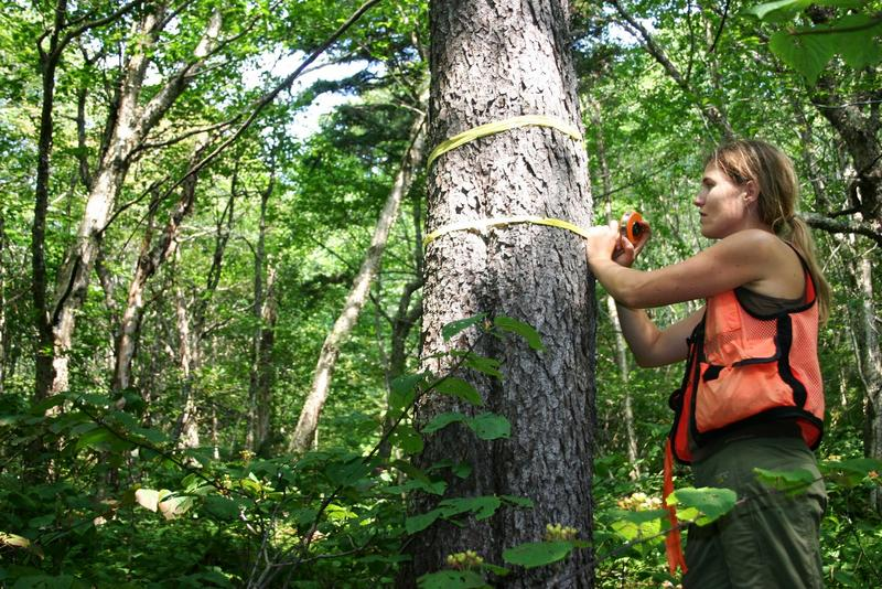 Alexandra Kosiba, a UVM scientist, documented the recovery of red spruce trees in the Northeast after decline due to acid rain.