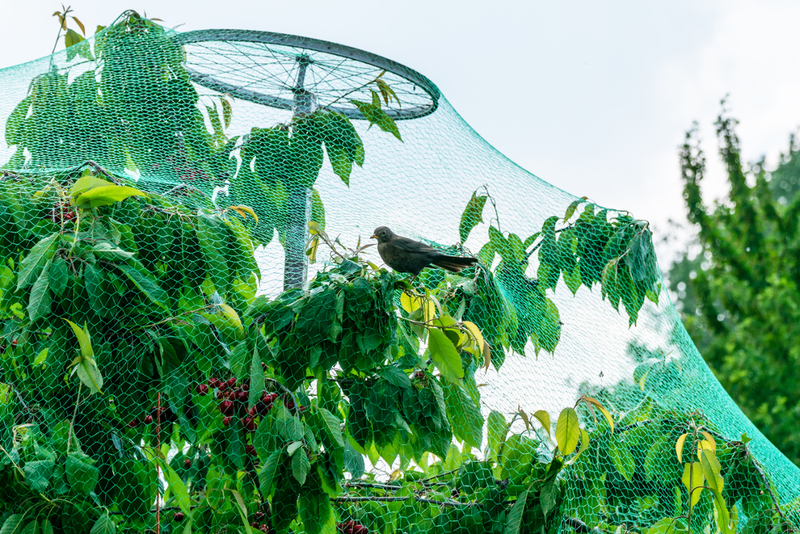 Netting is the simplest solution to keep birds off of fruit trees, but you can also try hanging pie-tins, old CDs or reflective tape.