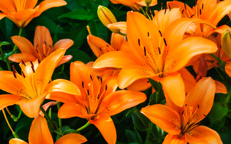 Tiger lilies spread easily, grow in a wide range of soils and return each year with little care.