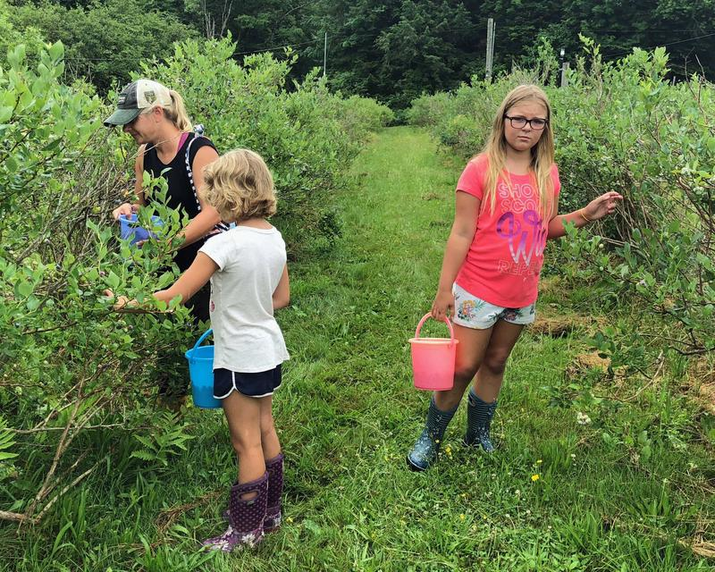 Hillary Bliss and her daughters Peyton, 8, and Ella, 10, of Morrisville, pick buckets full of berries at Pleasant Valley Blueberries, in Elmore.