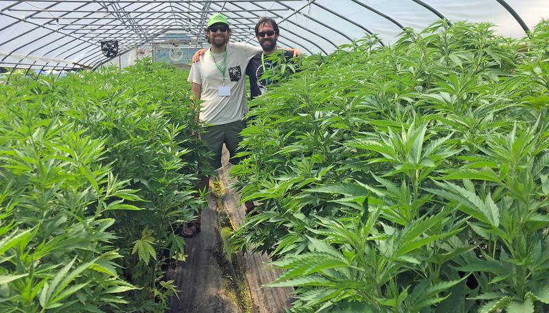 Mike Hoffman and Ryan Podd of Northern Roots Nursery, in Hyde Park, stand among a greenhouse full of the hemp plants they cultivate for CBD production at Heady Vermont's Legalization Celebration on July 1.
