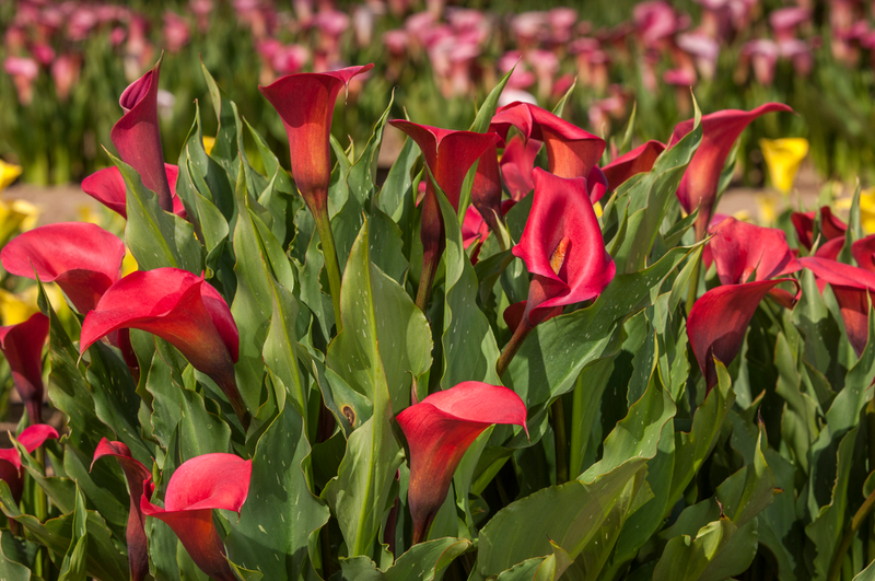 Calla lilies are a southern favorite but can also grow well in Vermont during hot, summer weather.