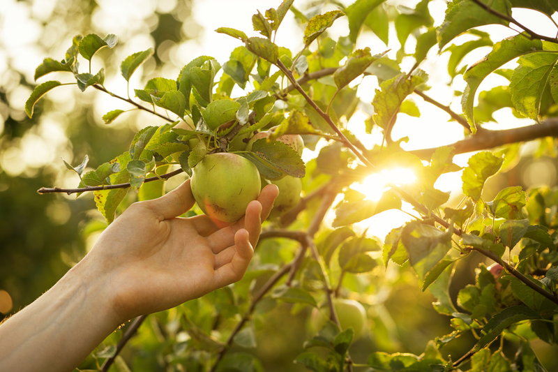 The chore of thinning apple, pear, plum and peach trees is crucial for producing good quality fruit.
