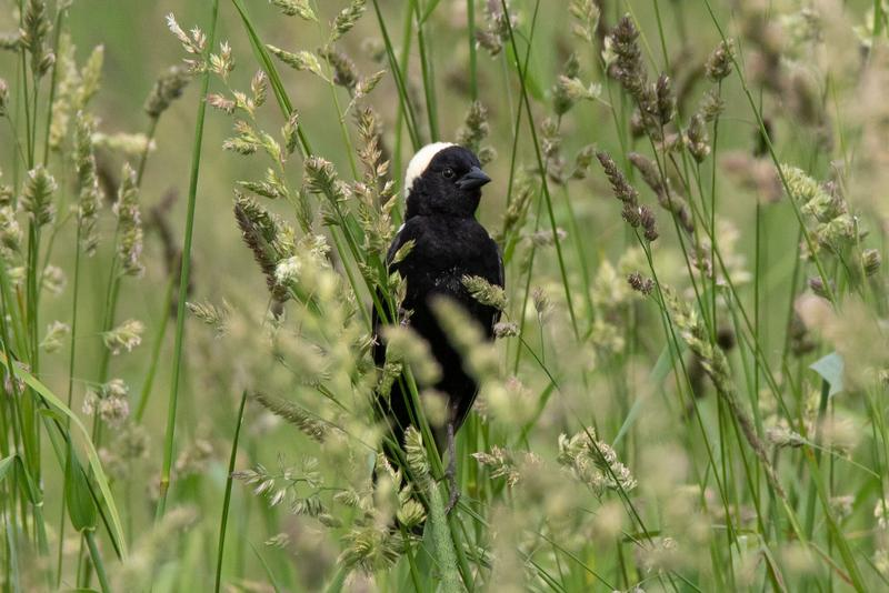A bobolink perches on strands of high grasses in South Woodstock at Top Acres Farm.