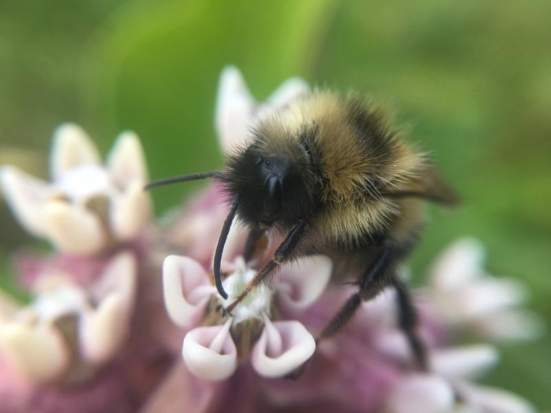 Fernald's Cuckoo Bumblebee, Bombus fernaldae, spotted by a Vermont iNaturalist user in July 2018.