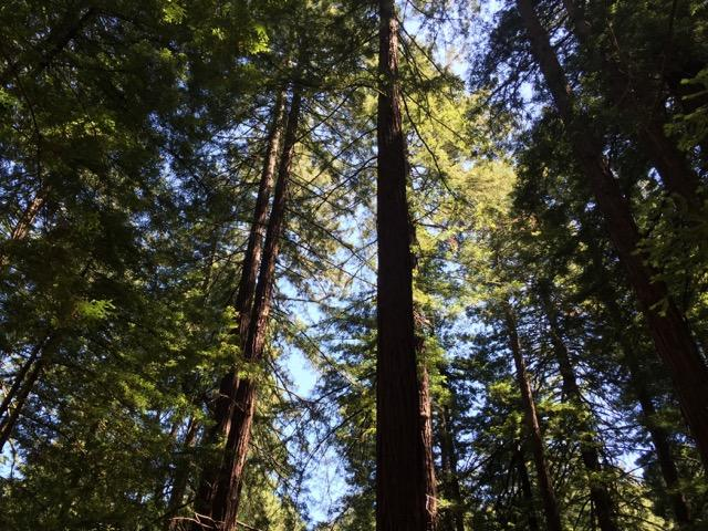 Redwood trees stretch skyward in Cathedral Grove at Muir Woods.