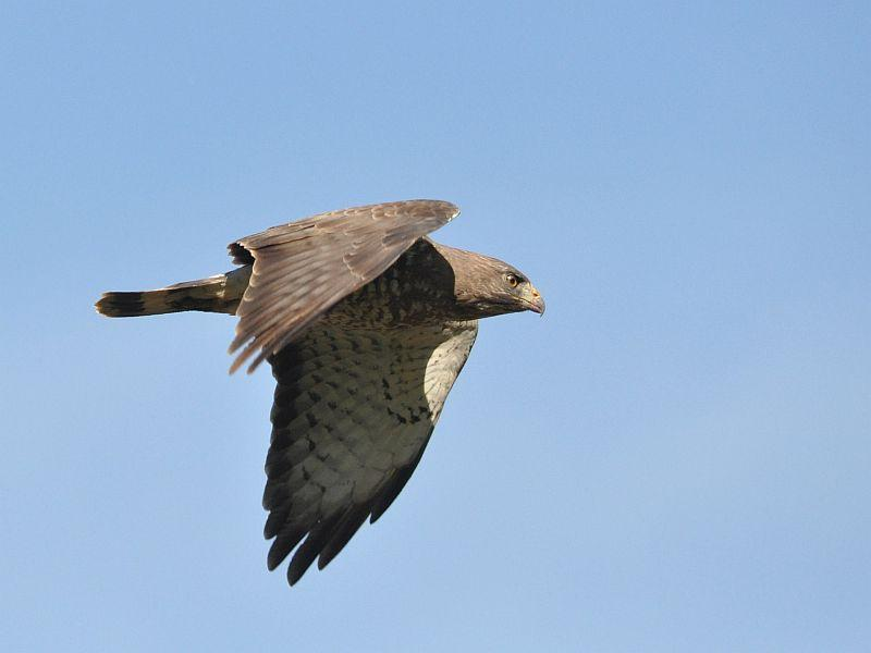 Now is a great time to spot hawks, like this broad-winged hawk seen flying over a field in Putney.