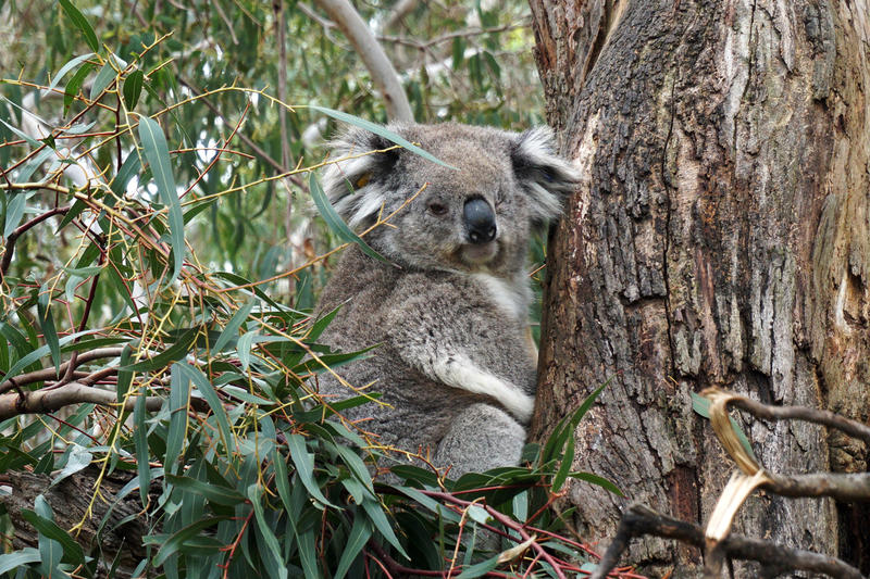 Koalas are native to Australia. But you won't find them in the city. They prefer quiet country living.