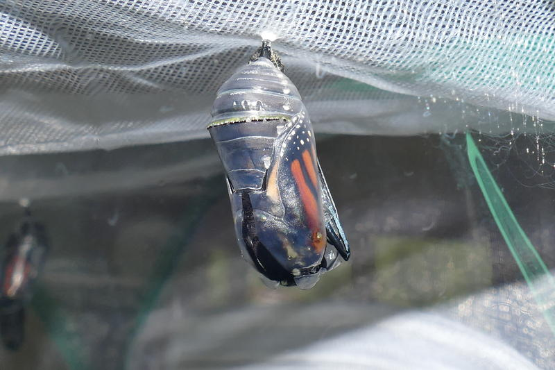 Right before a monarch emerges, its chrysalis goes from green to translucent. Scroll through the slideshow to see it emerge.
