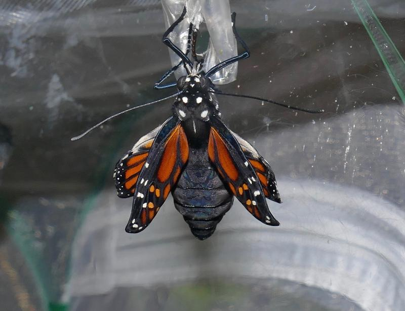 After righting itself, the butterfly pumps the fluid from its abdomen to its wings.