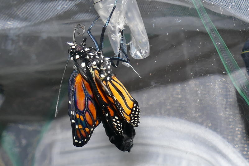Slowly its wings extend and within a few hours the butterfly is ready to fly.