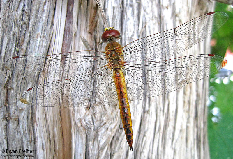 The compound eyes of a Wandering Glider dragonfly allow it to see in almost every direction except for directly behind them.
