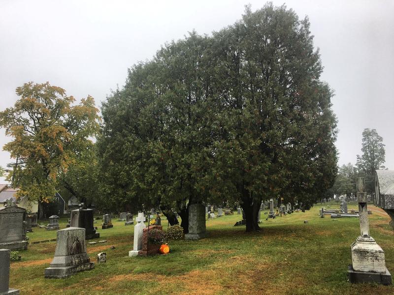 A Jack O'Lantern glows beneath a Northern White Cedar in Burlington's Old Mount Calvary Cemetery.
