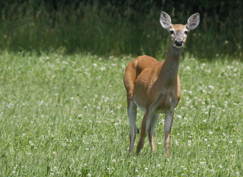A deer looks up from grazing in a Barre field.