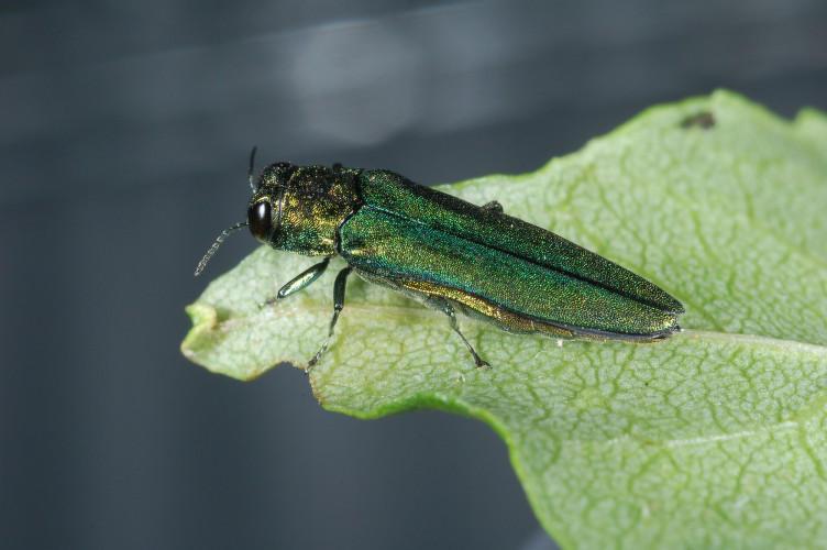 The emerald ash borer has now been detected in five Vermont counties.