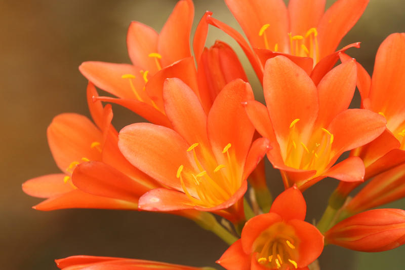 The common Clivia minuta produces an orange flower with beautiful, strap-like leaves.