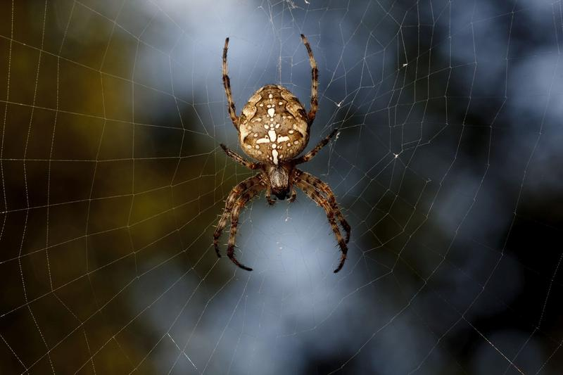 An orb weaver spider on its web.