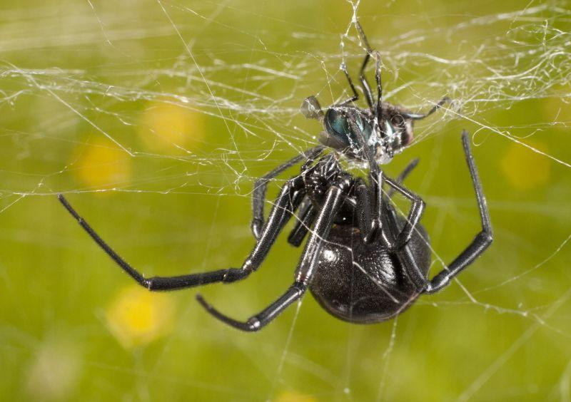 A black widow spider eating a fly.