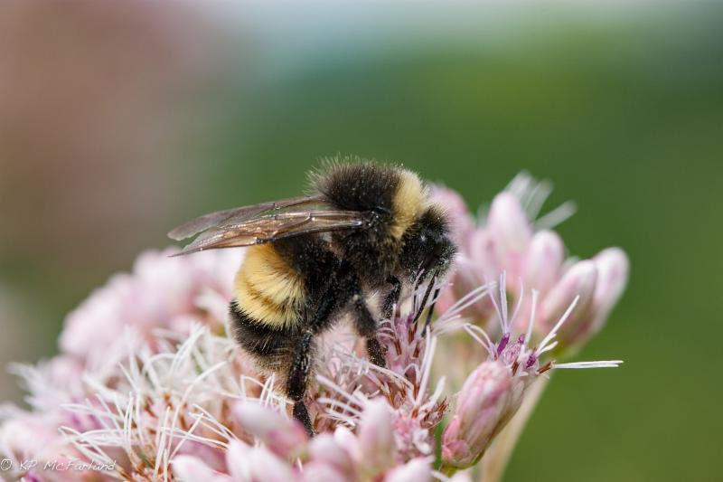 """Almost half our bumble bees species have either vanished or are in serious decline."""