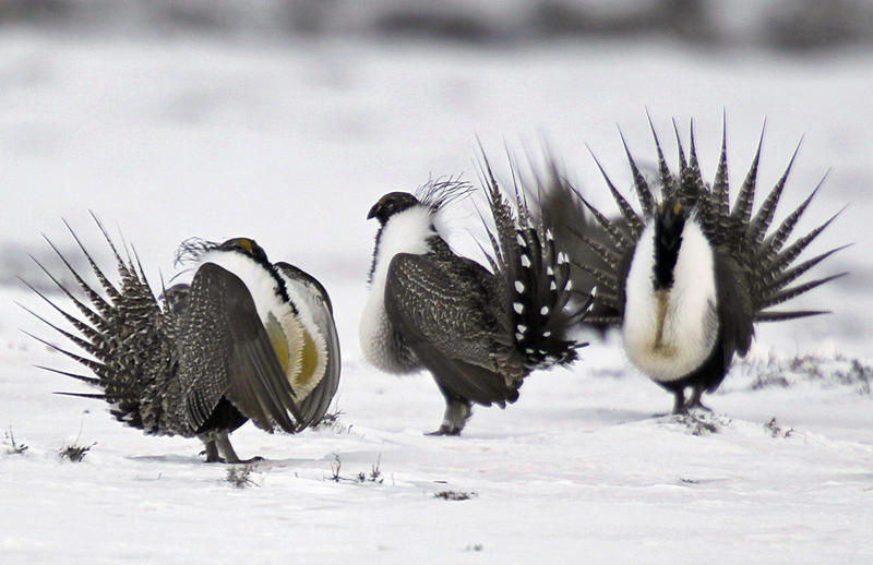 Male sage grouse, pictured in Colorado in April 2014, in a snowy field.