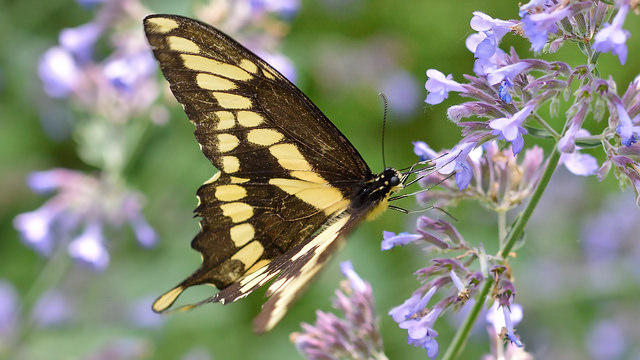 The Eastern Giant Swallowtail was first spotted in Vermont in 2010. Now it's a breeding resident butterfly in the state.