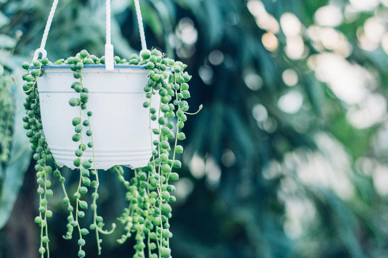 """String Of Pearls"" is a succulent that has fascinating small, round, pea-like leaves along the stems. It can go for weeks without water, especially in the winter."