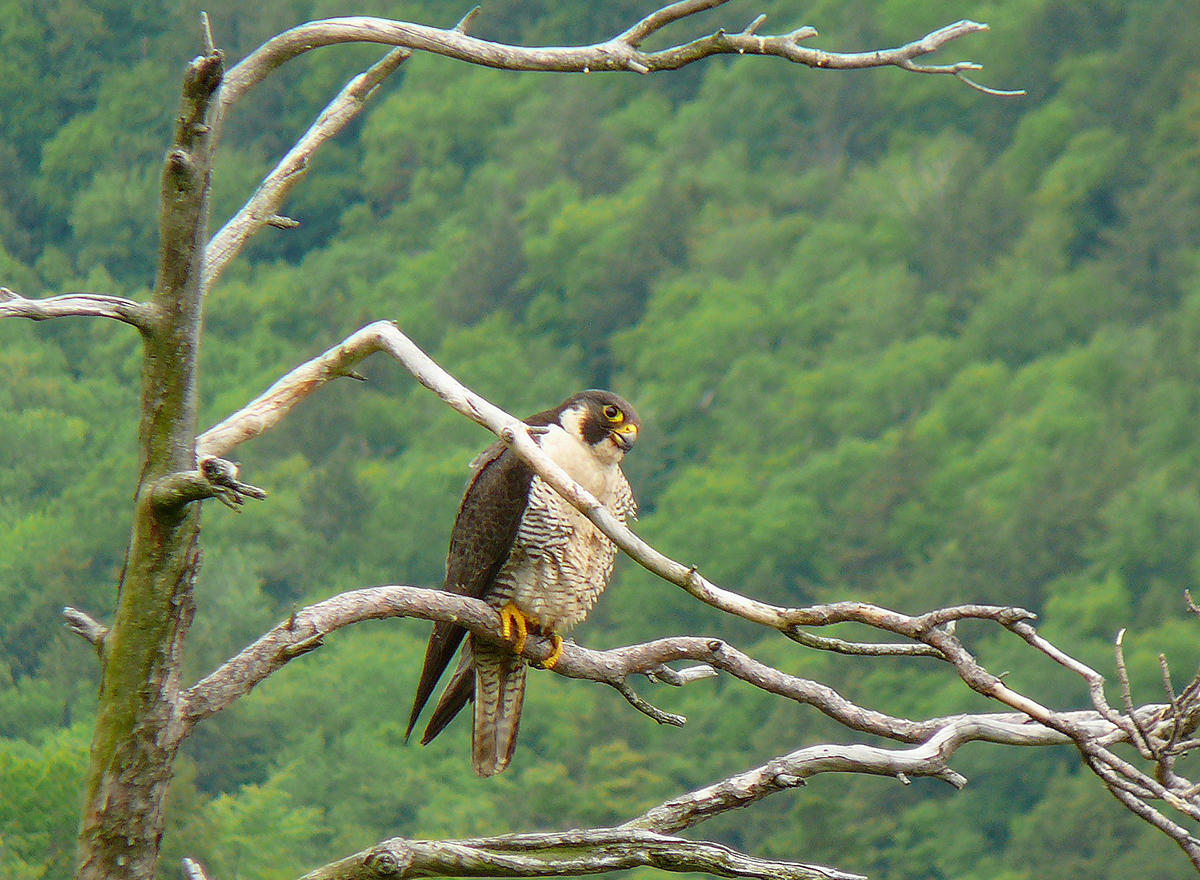 outdoor radio peregrine falcons on the bolton cliffs