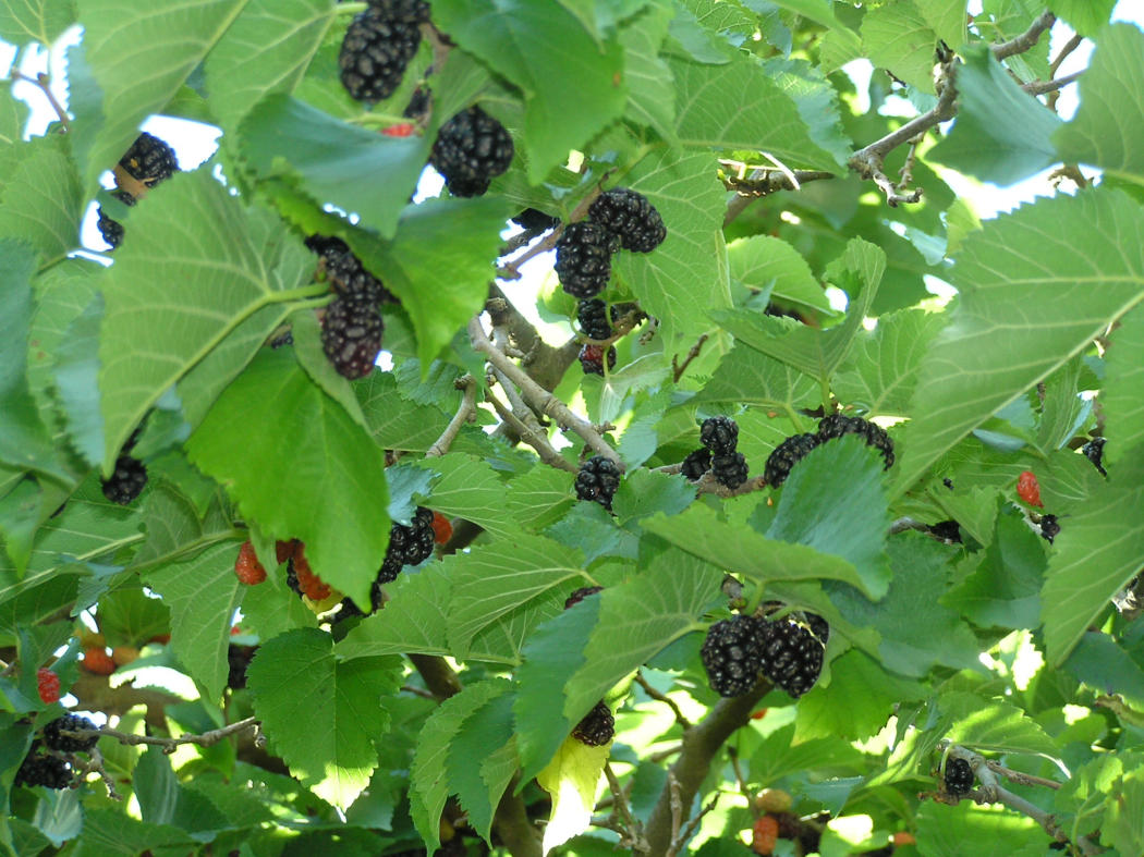 Vermont Garden Journal: Growing Mulberry Trees | Vermont Public Radio