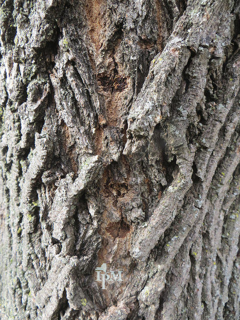august marks peak month for invasive tree pests