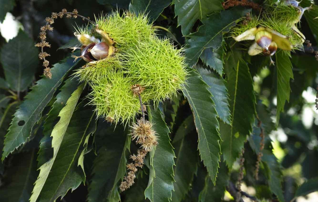 Vermont garden journal the american chestnut tree for The chestnut