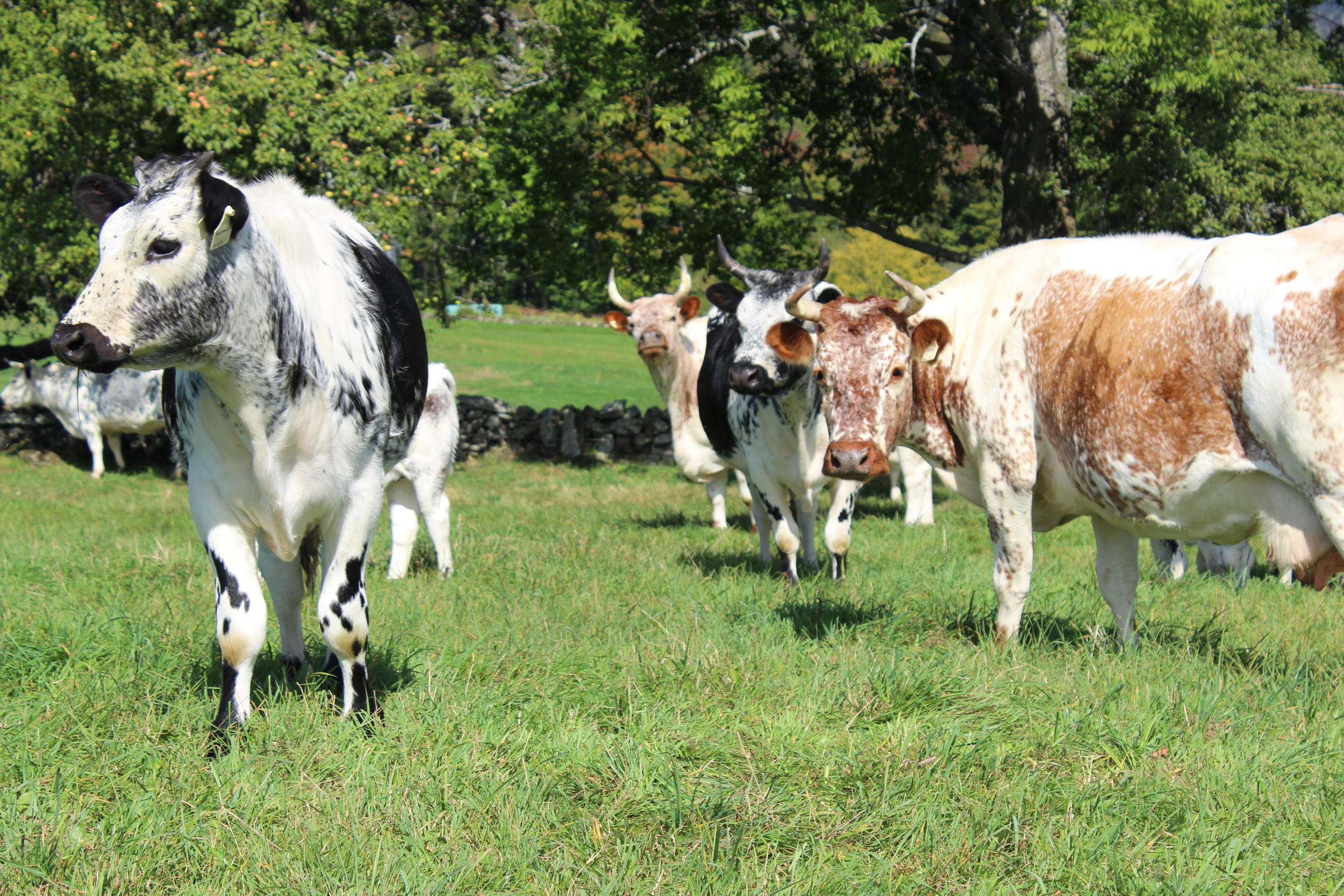 once near extinction vermont u0027s heritage cattle come home