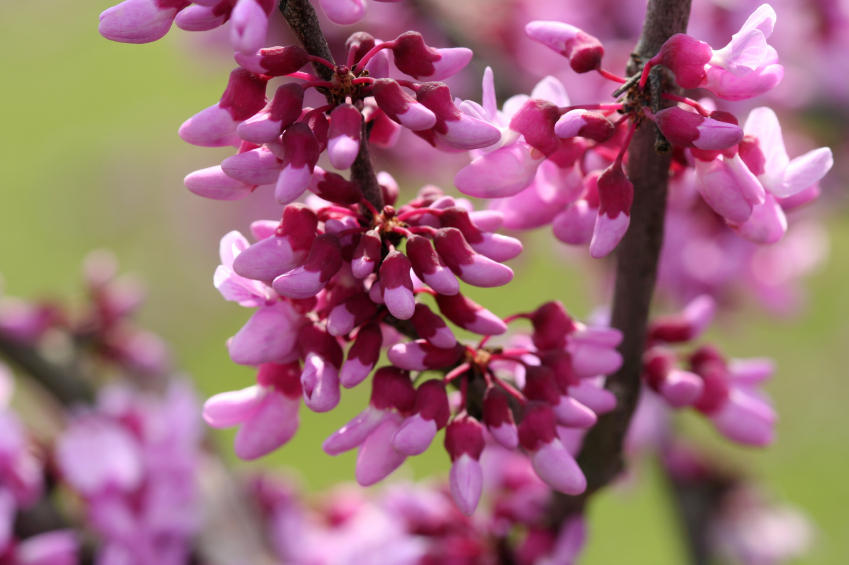 Vermont garden journal redbud vermont public radio its tiny bright pink flowers open before the leaves emerge giving the tree a neon glow mightylinksfo