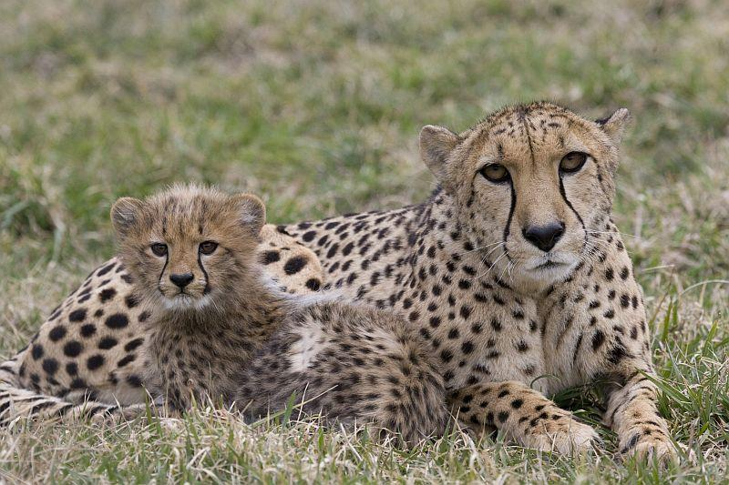 Where Does A Cheetah Live >> How Long Does It Take For A Baby Cheetah To Go From Fluffball To Hunter? | Vermont Public Radio