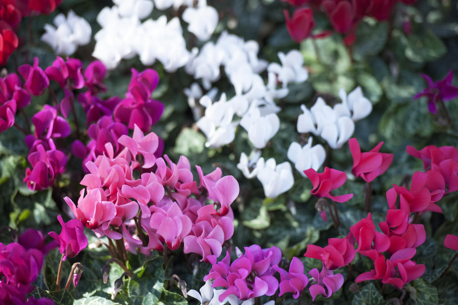 Vermont Garden Journal Caring For Cyclamen Plants