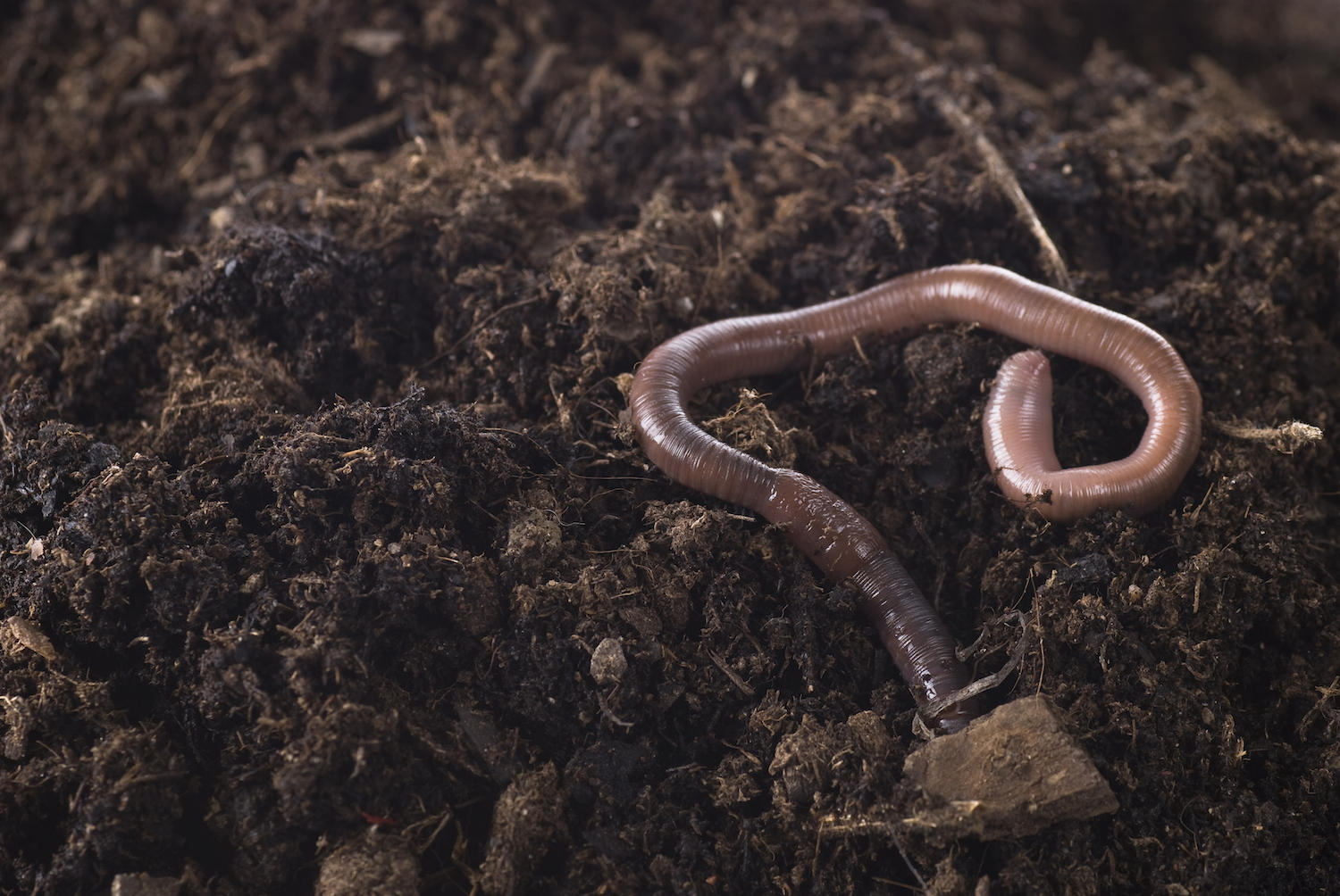 the common earthworm does help soil by creating air and water pathways and decomposing organic matter
