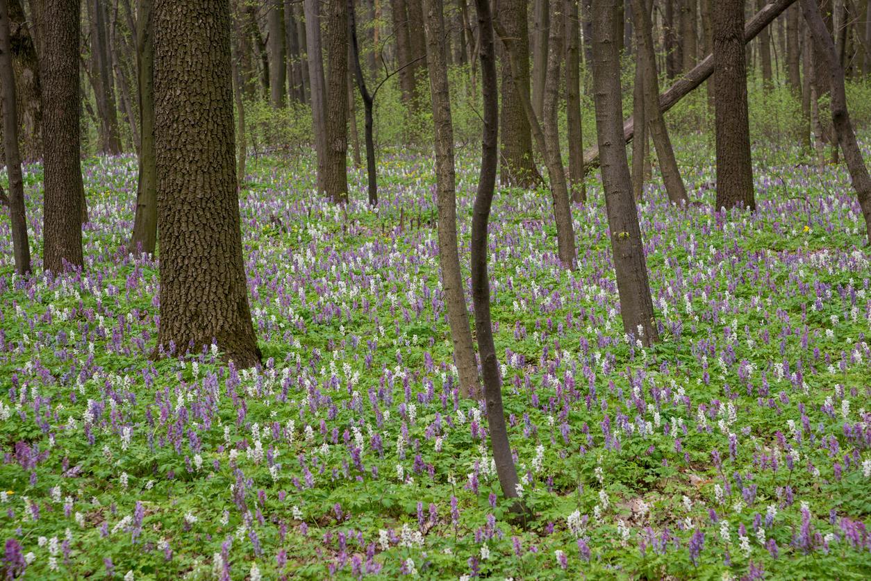 Vermont Garden Journal The Spring Beauty Corydalis