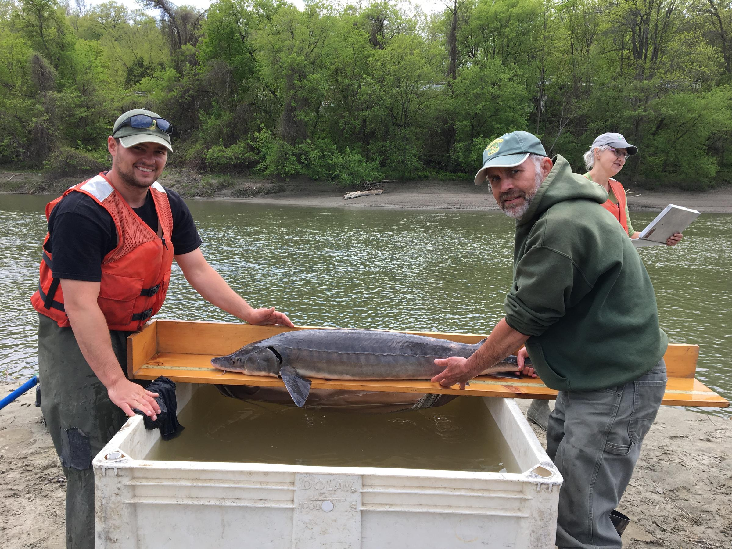 Ancient sturgeon slowly recovering in lake champlain but for Vermont fish and wildlife jobs