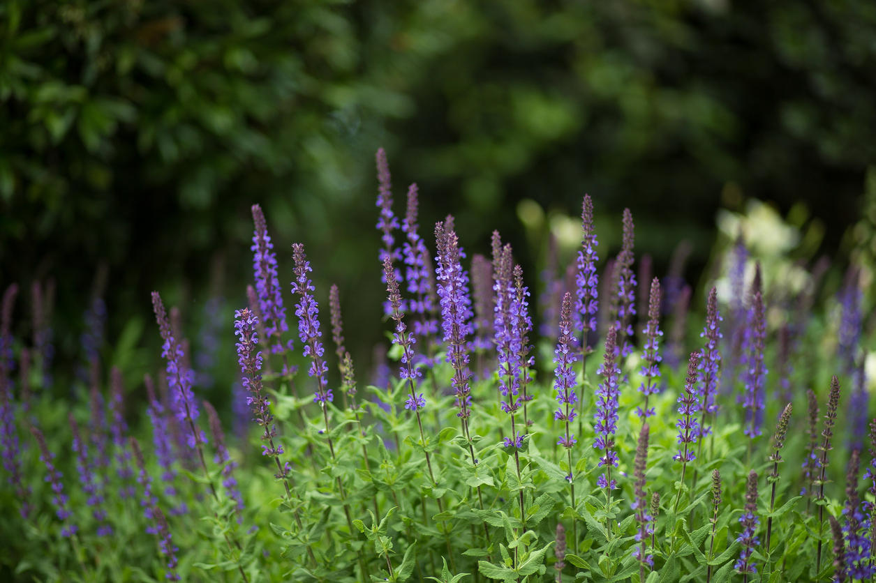 russian sage is drought tolerant and blooms reliably each year