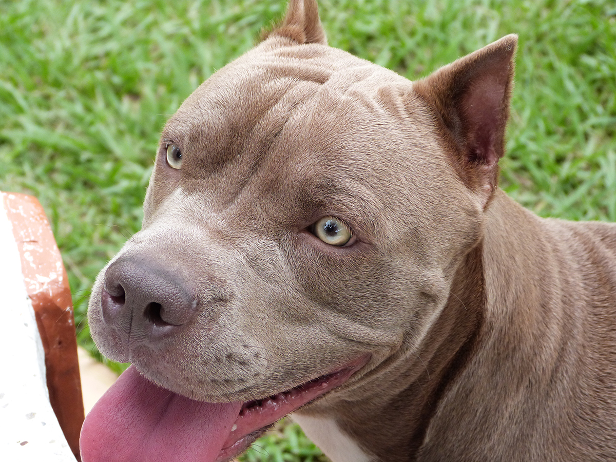 Ga Pit Bull Bill Fails Cities Can Continue To Ban Breeds