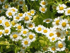 Feverfew is one plant with mosquito-repellent properties that's friendly to Atlanta soils.