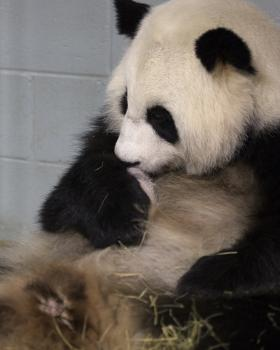 Lun Lun, grooming one of her twin cubs