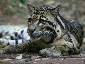 The clouded leopard at Zoo Atlanta is an endangered big cat.