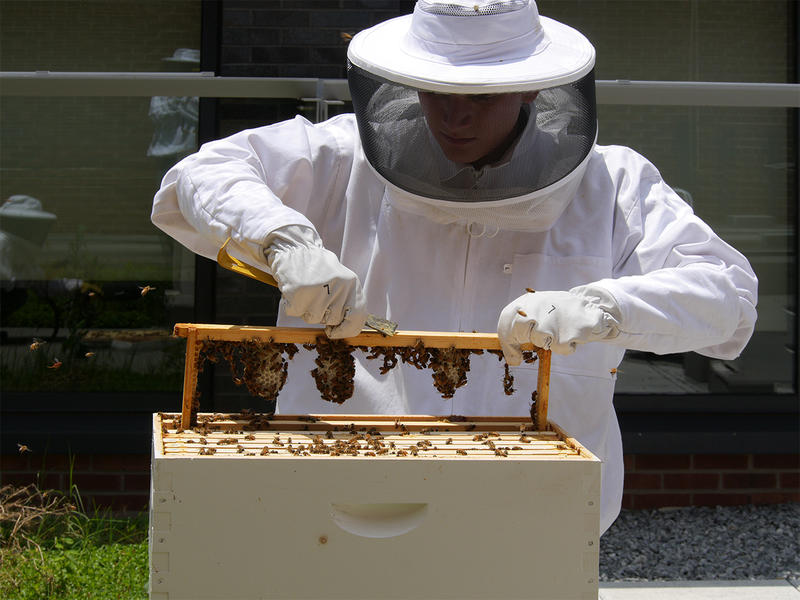The Georgia Tech Urban Honey Bee project studies how bees are able to live in cities.