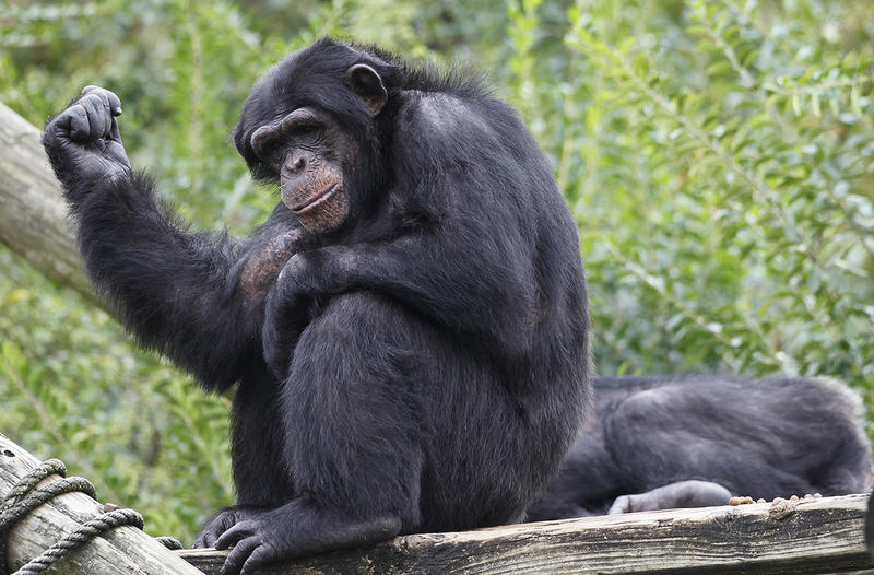 The Atlanta-based Yerkes National Primate Research Center wants to donate eight of the more than 50 chimpanzees at its facility to a zoo in England.