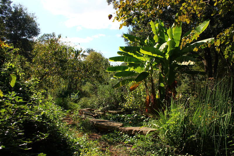 The pond and a banana plant, across from the community garden