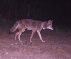 A coyote tagged by Chris Mowry in a north Georgia study. In recent years, more Atlantans have spotted these creatures in our own backyards.
