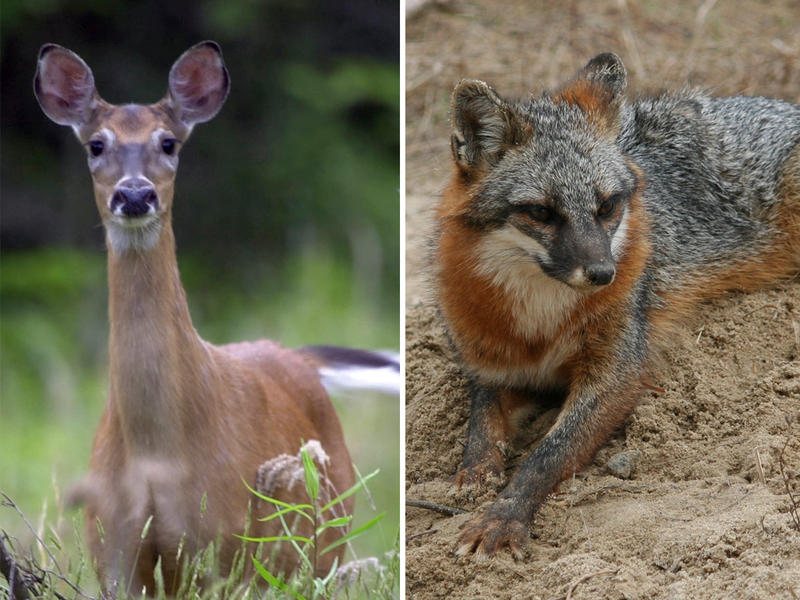 The White-Tailed Deer (left) and Grey Fox (right) are two mammals being considered for Georgia's New State Mammal spot.