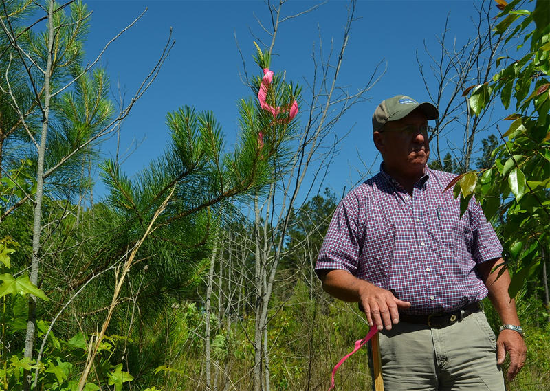 Eddie Reddick at his family's tree farm in Screven County. He says Kinder Morgan surveyors damaged some of his crop.